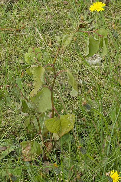 Non-native species: Japanese Knotweed